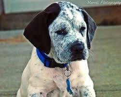 bluetick coonhound jack russell mix bluetick coonhound rottweiler mix dog and cat