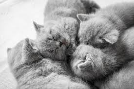 sleeping on short hair cluster of sleeping cats british shorthair stock image image of