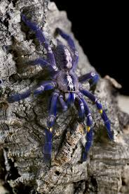 poecilotheria metallica a beautiful spider to india and