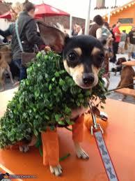 Chihuahua Halloween Costume Chihuahuas Costume