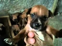 belgian sheepdog mix puppies pitbull x belgian malinois youtube