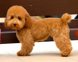 haircutsfordogs poodlemix 291 best poodles images on pinterest beautiful dog and love