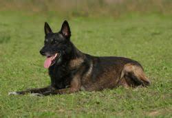 belgian sheepdog for sale belgian malinois breed information u0026 pictures malinois chien de
