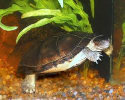 tortoise home decor how to care for mississippi map turtles