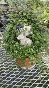Eugenia Topiary 120 Best Topiary Old World Gardens Images On Pinterest Topiaries