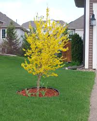 amazing small decorative trees from ornamental trees by height on
