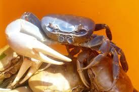 Pleins De Crabe Violonistes Très Les Crabes De Martinique Sa Ka Fet Matinik