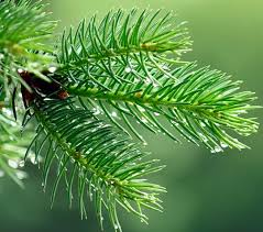 another cancer destroyer pine needles the gaia health