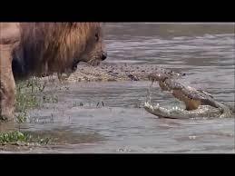 Interior Crocodile Alligator Crocodile Gifs Find Make U0026 Share Gfycat Gifs