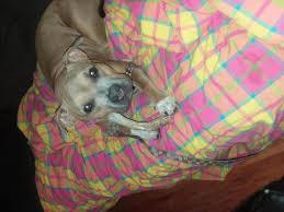 american pitbull terrier heat cycle my pocket pit bull pitbulls go pitbull dog forums