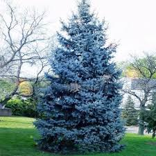 30pcs colorado blue spruce tree seeds picea pungens fir plant us