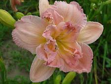 Reblooming Daylilies Reblooming Daylilies Perennials Ebay
