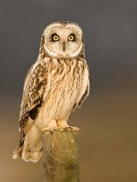 Where Does The Barn Owl Live Short Eared Owl Identification All About Birds Cornell Lab Of
