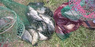 cara membuat umpan mancing ikan mas harian tips membuat umpan jitu ikan mas kilo gebrus