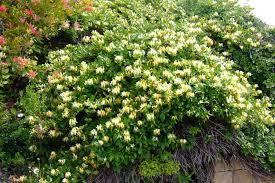 Climbing Plants For North Facing Walls - climbing plants for north facing wall pretty clean and simple