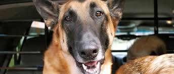 belgian shepherd diesel le chien malinois du raid mort lors de l u0027assaut à saint denis