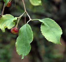 trees of ohio american crabapple