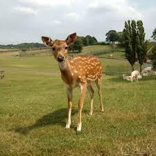why we don u0027t domesticate deer sunrise u0027s swansong