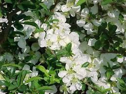 Flowering Privacy Shrubs - best shrubs