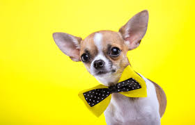 cute dog wallpapers gallery for chihuahua dog wallpapers chihuahua dog wallpapers