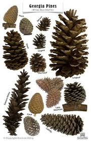 the nuthatch archive pine cones field guide