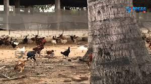success story on backyard poultry farming paadi pantalu youtube