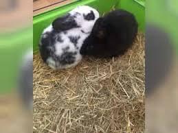 australian shepherd zu verschenken kaninchen zu verschenken kleinanzeigen kaufen u0026 verkaufen bei
