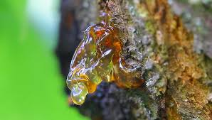 resins and thin thread resin in a tree apricot stock