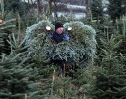 top places to cut down your own christmas tree cbs chicago