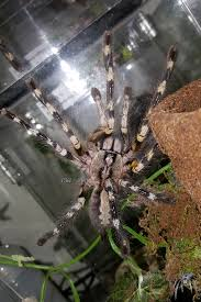 flickr photos tagged poecilotheria picssr