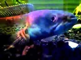 the best in the world ornamental fish channa stewarti garo fantasi
