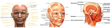 Parts Of The Face Anatomy Faceblaster Protocols Ashley Black Guru Official Home Of The