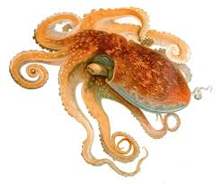 curled octopus wikipedia