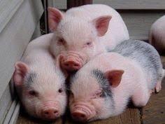 cute piggies piggies animal piglets