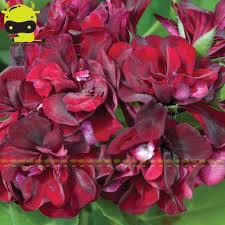 fleurs vivaces rustiques obtenir en ligne à bon marché hiver hardy plantes aliexpress com