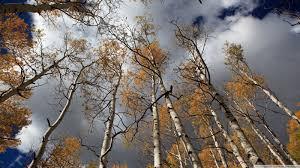 fall birch trees 4k hd desktop wallpaper for 4k ultra hd tv
