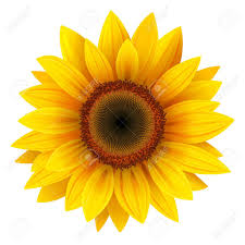 sunflower pictures 29 578 sunflower cliparts stock vector and royalty free sunflower