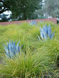 13 best perennial grasses marin county images on