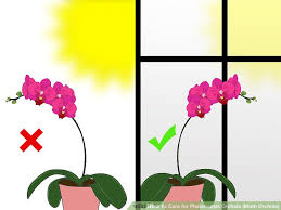 moth orchid how to care for phalenopsis orchids moth orchids 7 steps