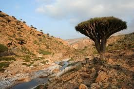 Rugged Landscape Socotra Dragon U0027s Blood Tree Dracaena Cinnabari Vulnerability Of