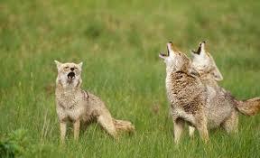 Coyote In My Backyard Coyotes In Calabasas