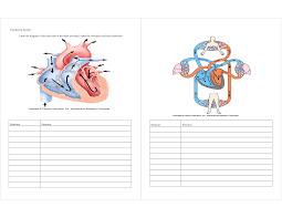 Human Anatomy Worksheet Circulatory System Diagram Worksheet Human Anatomy Chart