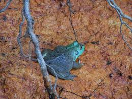 rare blue green bullfrog spotted in california backyard wildlife