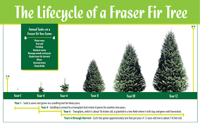the cycle of the fraser fir tree echo hill farms