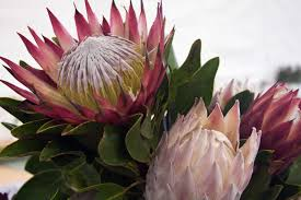 Protea Flower South Africa - travel south africa vintage cars and flower power