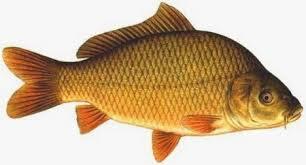 cara membuat umpan mancing ikan mas harian resep umpan jitu mancing ikan mas umpan jitu ikan mancing mania