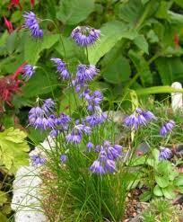 allium cyaneum north american rock garden society
