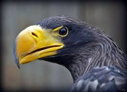 stellers sea eagle wallpapers drawn steller u0027s sea eagle face pencil and in color drawn