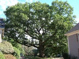 White Oak Tree File Mullikan Oak Tree Lexington Ma September 2012 Jpg