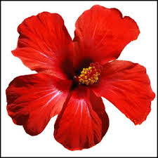 Flower Com Hibiscus Flower Jpg T U003d1437423744